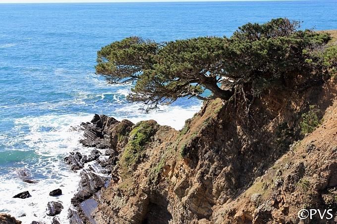 Pinus contorta ssp. contorta  shore pine