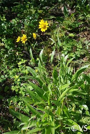 Helianthella californica  California helianthella
