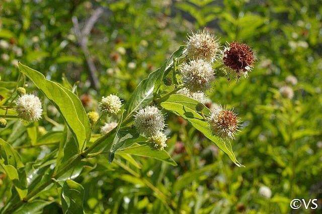 Cephalanthus  occidentalis  button willow