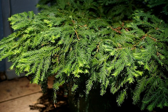 Sequoia  sempervirens 'Kelly's Prostrate' Kelly's prostrate coast redwood