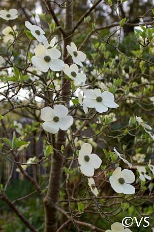 Cornus nuttallii  Pacific dogwood