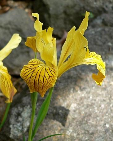 Iris innominata  Del Norte County iris