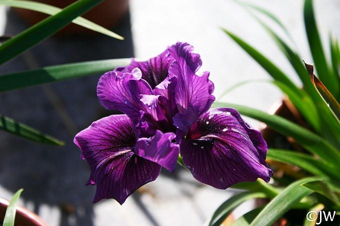 Iris Pacific Coast hybrid 'Dark Delight' Pacific Coast hybrid iris