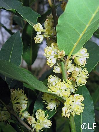 Laurus nobilis  Grecian laurel