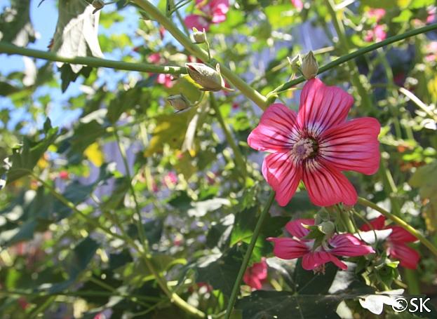 Lavatera  assurgentiflora  Island mallow, malva rose