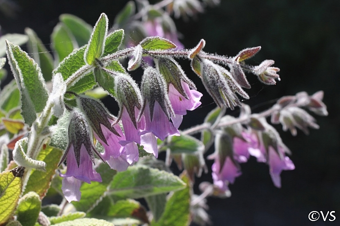 Lepechinia fragrans 'El Tigre' fragrant pitcher sage