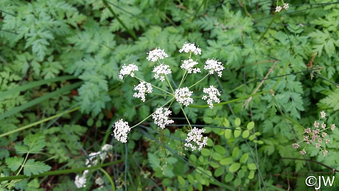 Ligusticum apiifolium  celeryleaf licorice root