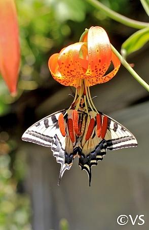 Lilium pardalinum  leopard lily