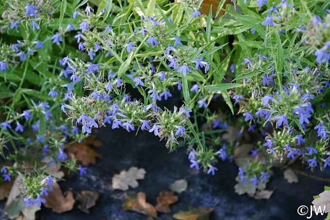 Lobelia dunnii var. serrata  blue lobelia