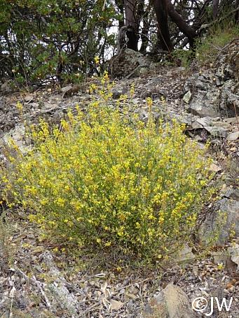 Lotus (Acmispon) scoparius (glaber)  deerweed