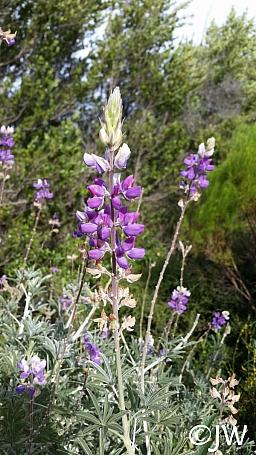 Lupinus albifrons var. douglasii  Douglas' silver bush lupine