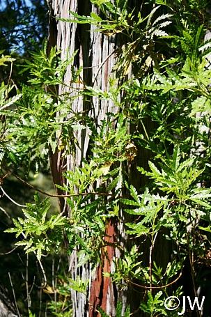Lyonothamnus floribundus ssp. asplenifolius  Santa Cruz Island ironwood