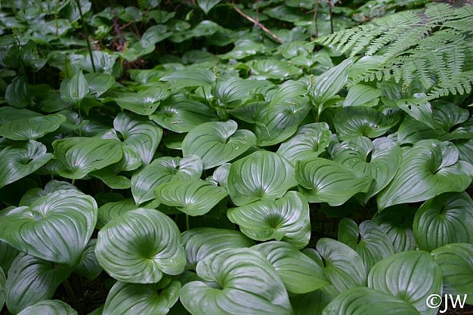 Maianthemum dilatatum  false lily of the valley