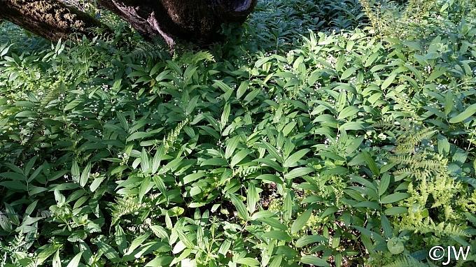 Maianthemum (Smilacina) stellatum  slim false Solomon's seal