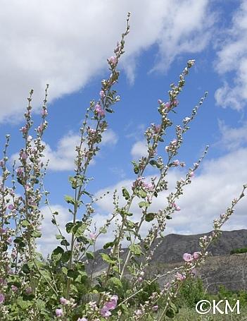 Malacothamnus fasciculatus  chaparral bush mallow