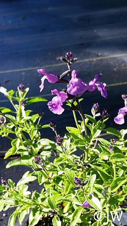 Salvia microphylla 'Mesa Azure' mountain sage
