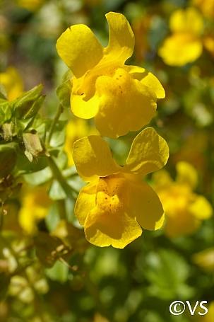 Mimulus guttatus  common monkeyflower