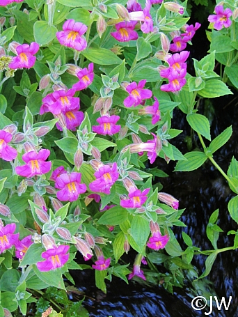 Mimulus lewisii - dark flowered form  Lewis' monkeyflower
