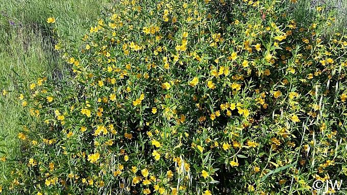 Mimulus aurantiacus  sticky monkeyflower