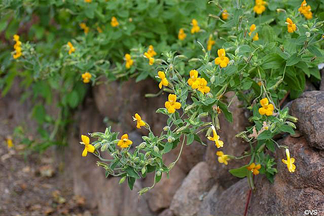 Mimulus cardinalis 'Santa Cruz Island Gold' monkeyflower