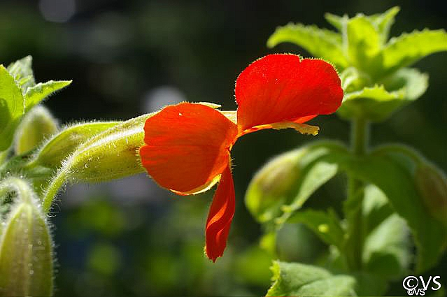 Mimulus cardinalis  scarlet monkeyflower