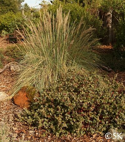 Muhlenbergia lindheimeri