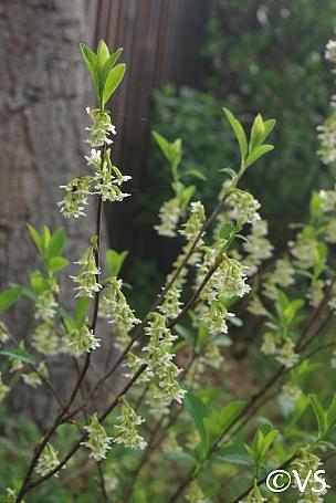 Oemleria cerasiformis  oso berry