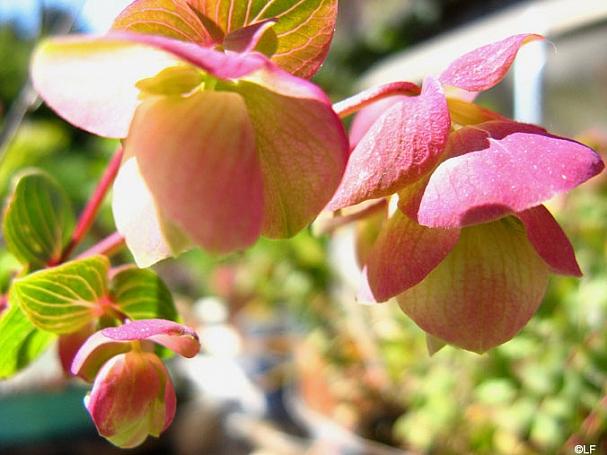Origanum  'Kent Beauty' ornamental oregano