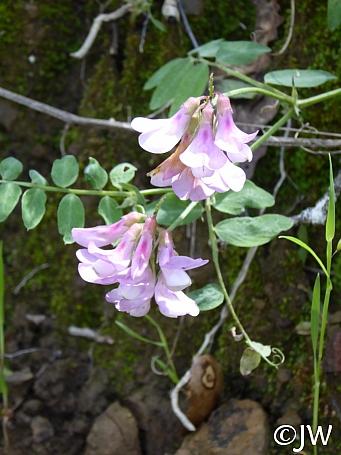 Lathyrus vestitus  hillside pea, Pacific pea