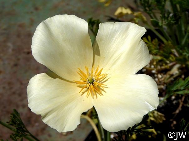 Eschscholzia californica - cream colored flowers  cream colored California poppy