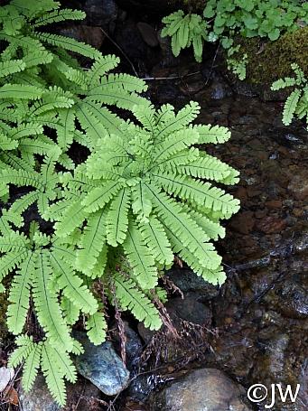 Adiantum aleuticum  five-finger fern
