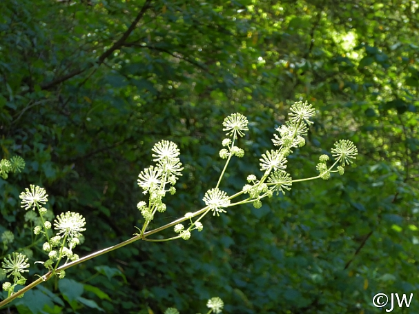 Aralia californica  elk clover, spikenard