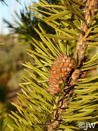 Pinus contorta ssp. murrayana  lodgepole pine