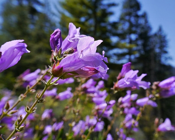 Penstemon fruticosus  shrubby penstemon