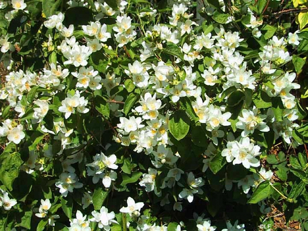 Philadelphus lewisii 'Covelo' western mock orange