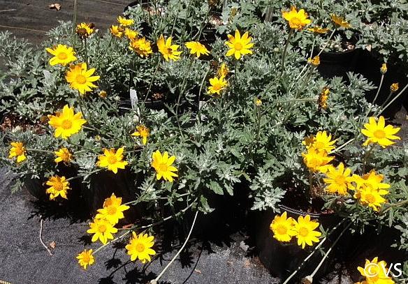 Eriophyllum lanatum 'Siskiyou' woolly sunflower