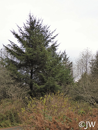 Picea sitchensis  Sitka spruce