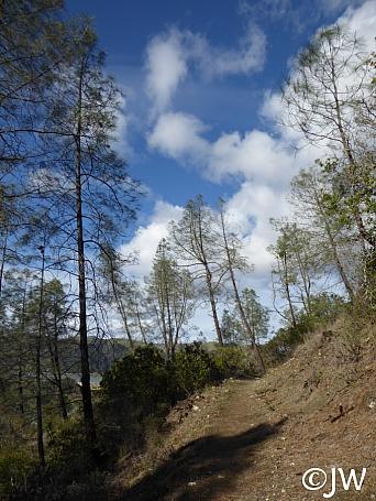 Pinus sabiniana  gray pine
