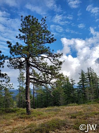 Pinus jeffreyi  Jeffrey pine