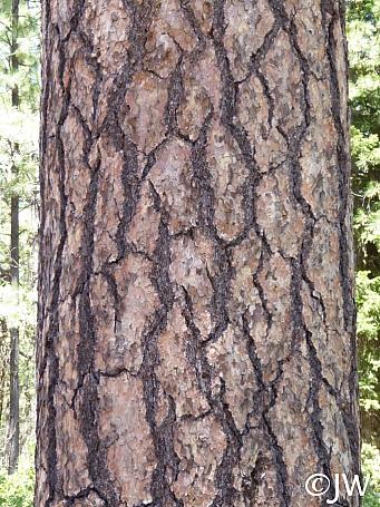 Pinus ponderosa  ponderosa pine