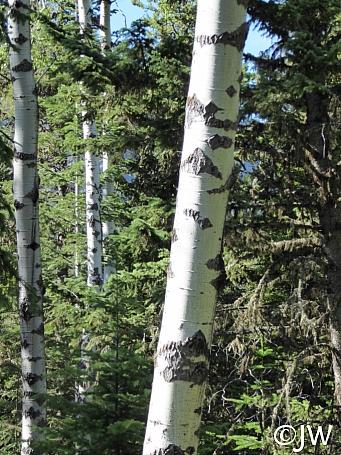 Populus tremuloides  quaking aspen