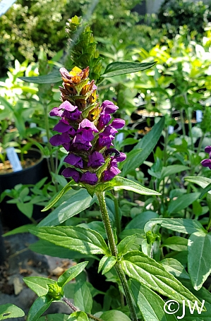 Prunella vulgaris v. lanceolata  self heal