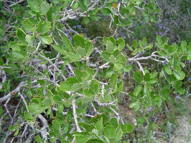 Quercus berberidifolia  scrub oak