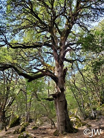 Quercus chrysolepis  canyon live oak