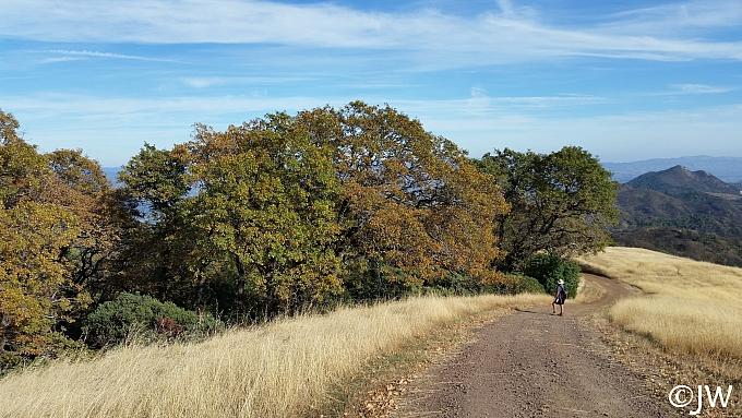 Quercus kelloggii  California black oak