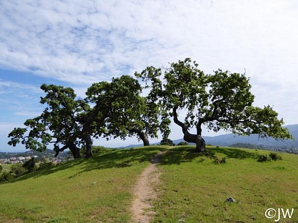 Quercus lobata  valley oak