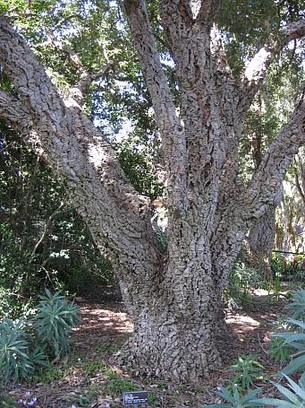 Quercus suber  cork oak