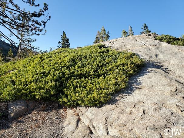 Quercus vaccinifolia  huckleberry oak