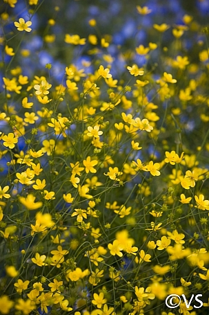 Ranunculus occidentalis  western buttercup