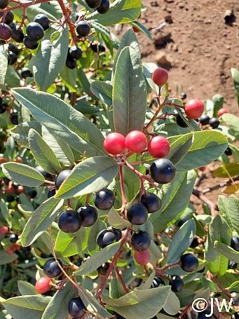 Rhamnus (Frangula) californica - large, inland form  California coffeeberry